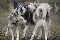 Sibirian多壳的狗组装 免版税库存照片