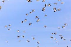 Sibirian灰雁在东部弗里西亚 库存图片