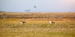 Sibirian灰雁在东部弗里西亚 免版税库存图片