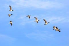 Sibirian灰雁在东部弗里西亚 免版税图库摄影