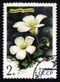 Sibirian blommaSaxifraga Sibirica, serie, circa 1977 Arkivfoton