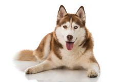 Sibirian husky lying isolated on white background. And looking to the camera royalty free stock photography