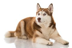 Sibirian husky lying isolated on white background. And looking up royalty free stock photography