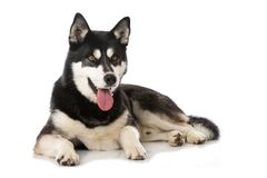 Sibirian husky lying isolated on white background. And looking to the camera stock photos