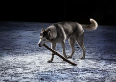 Sibirian Husky Stock Photo
