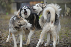 Sibirian Husky dog pack. A pack of three Sibirian Husky dogs barking and playing together. They fight because of the hierarchy in their pack. Image taken closeup Royalty Free Stock Photo