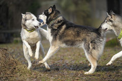Sibirian Husky dog pack Royalty Free Stock Image