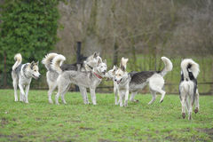 Sibirian Husky dog pack Stock Photos