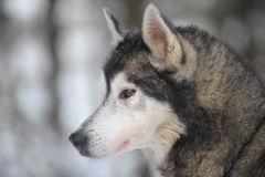 Sibirian Husky dog portrait Royalty Free Stock Image