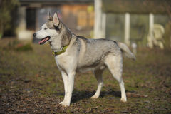 Sibirian Husky dog from side. Sibirian Husky dog standig from side outdoors. The pet is looking straight Stock Photo