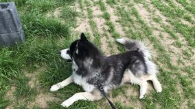 Sibirian husky lays on field and look into the distance. Near a german farm royalty free stock images