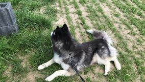 Sibirian husky lays on field and look into the distance. Near a german farm stock image