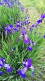 Sibirica d'Iris Iris de Sibérien au printemps Photo stock