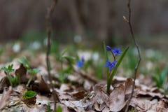 Sibirica Scilla μπλε άνοιξη λουλουδιών στοκ φωτογραφίες