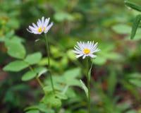 Sibiricus dell'aster del fiore Immagine Stock Libera da Diritti
