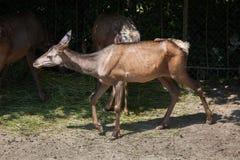 Sibiricus di canadensis di cervo dei wapiti di Altai Immagini Stock