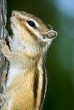 Sibiricus do Tamias fotografia de stock