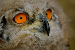Sibiricus Eagle-owl owlet Stock Images