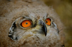 Sibiricus Eagle-owl owlet Royalty Free Stock Images