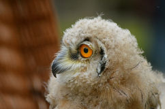 Sibiricus Eagle-owl owlet Royalty Free Stock Image