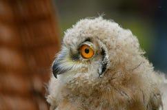 Sibiricus Eagle-owl owlet. A Sibiricus Eagle-owl owlet Royalty Free Stock Image