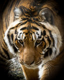Sibirien tiger Arkivfoto