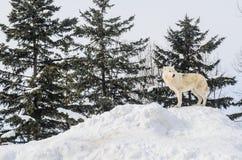 Sibirier auf Schnee-Berg Lizenzfreies Stockfoto