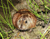 Sibirier-Brown-Lemming Stockfotos