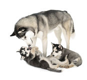 Sibirier Husky Family Stockfotos
