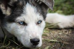 Sibirier Husky Pup Lizenzfreie Stockfotos