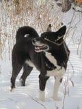 Sibirier Layka Lizenzfreie Stockbilder