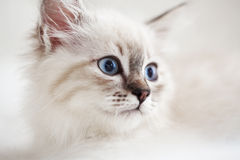 Sibirisches Kätzchen Stockfotografie
