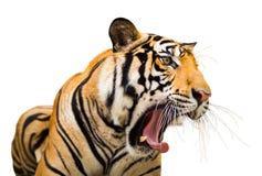 Sibirier-Tiger Roaring-Isolat auf weißem Hintergrund mit Ausschnitt lizenzfreie stockfotografie