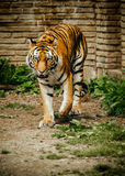 Sibirier Tiger Stalking Stockfotos