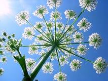 sibirikum heracleum стоковые изображения rf