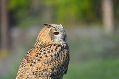 Sibirische Adlereule Stockfoto