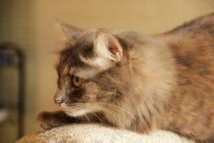 Sibirische graue Katze Lizenzfreie Stockbilder