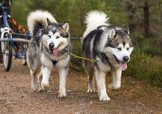 Sibirische Huskys, die einen Schlitten in Schottland ziehen. Lizenzfreie Stockbilder
