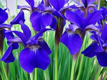 Sibirische Iris: Reizender Schatten des Purpurs Lizenzfreie Stockfotos