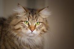 Sibirische Katze Lizenzfreies Stockbild