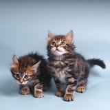 Sibirische Katze Lizenzfreie Stockfotografie