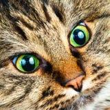 Sibirische Katze lizenzfreie stockbilder
