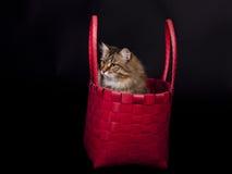 Sibirische Katze Lizenzfreies Stockfoto