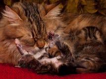 Sibirische Katze Stockfoto