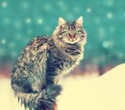 Sibirische Katze Stockfotografie