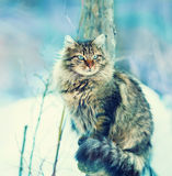 Sibirische Katze Stockbilder