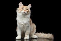 Sibirische Katze auf lokalisiertem schwarzem Hintergrund Lizenzfreies Stockbild