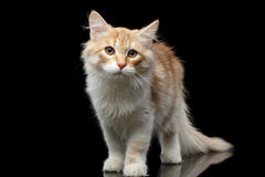 Sibirische Katze auf lokalisiertem schwarzem Hintergrund Stockfoto