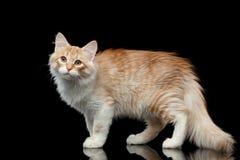 Sibirische Katze auf lokalisiertem schwarzem Hintergrund Lizenzfreie Stockbilder