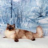 Sibirische Katze auf Winternatur im Schnee Lizenzfreie Stockfotos